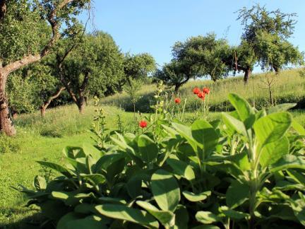 Salbei und Obstgarten