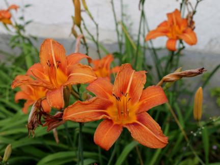 Taglilie, orange