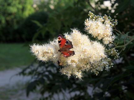 Tagpfauenauge auf Blüte