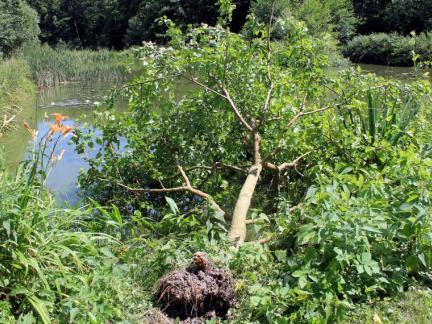 Umgefallener Maulbeerbaum