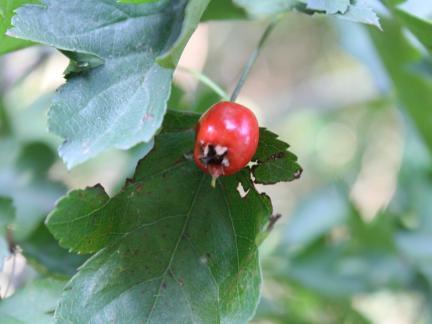 Frucht vom Weißdorn